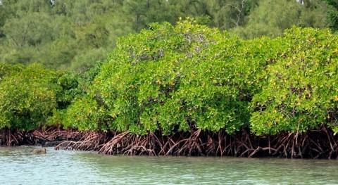 manglares como hábitat contrarrestar emisiones carbono