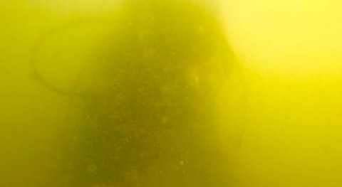 Mar Menor pierde 85% praderas marinas 2014