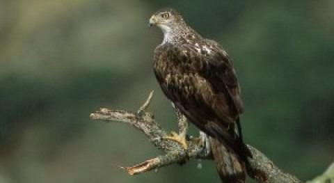 Azor perdicera, una especie en peligro (SEO Birdlife)