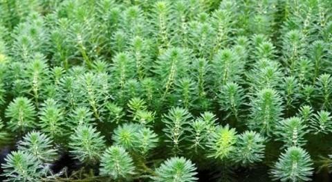 URA trabaja erradicación primer foco especie invasora Myriophyllum aquaticum