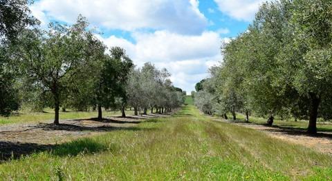 modelo predice impacto cambio climático olivar andaluz zona cultivo