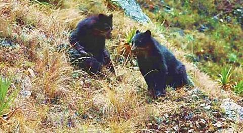Eliminar osos crea inestabilidad ecosistema (I)