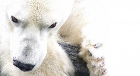 pelo oso polar inspira creación membrana útil desalación agua