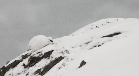 cambio climático altera reproducción perdiz blanca Pirineos
