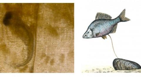 pez invasor amenaza situación crítica almejas río