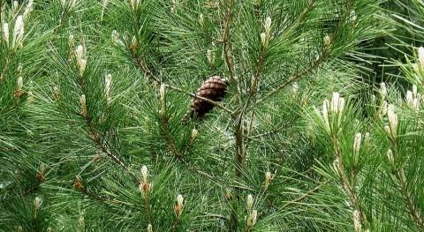 Hojas de pino carrasco (Wikipedia).
