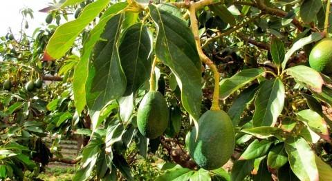 ¿Cómo influye salinidad cultivo aguacate?