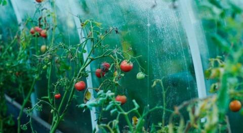 uso compuesto volátil tomate podría proteger cultivos infecciones y sequías