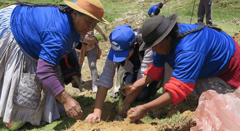 Siembran más 500 plantones pino barrio Mantaro reutilizando pañales descartables