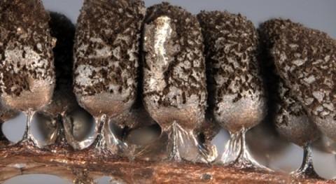 Protozoos Teide ayudan conocer influencia cambio climático seres vivos