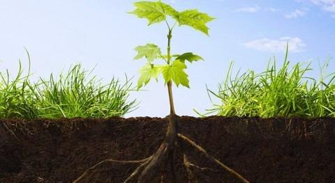 Descubierto mecanismo que permite raíces plantas buscar humedad suelo