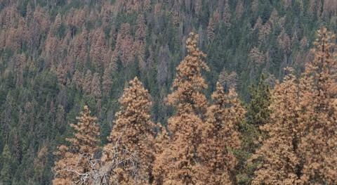 ¿ sequía mata árboles sed o hambre?
