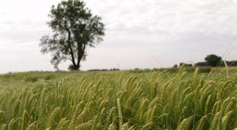 disponibilidad agua marcó adaptación variedades trigo duro Mediterráneo