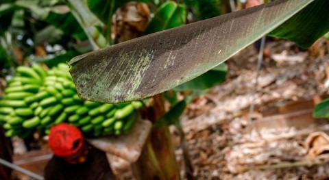 falta riego fincas Palma podría provocar pérdidas 60 millones dos años