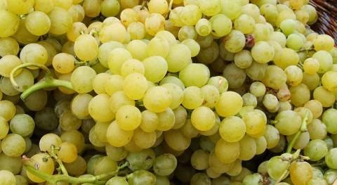 producción uva caerá 50% esta campaña sequía, Unió