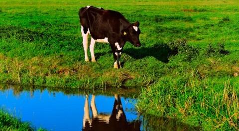 Cómo enseñar vacas ir al baño puede ayudar combatir cambio climático