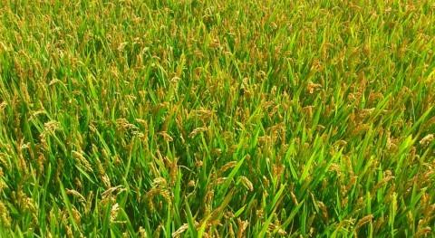 pérdidas campo valenciano sequía y lluvias 2016 ascienden 700 millones
