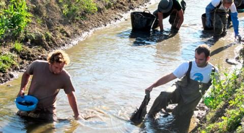 caracol manzana, grave riesgo margen derecho Delta Ebro