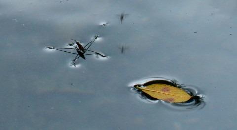 WATER WALKING: ¿ qué algunos insectos pueden caminar agua?
