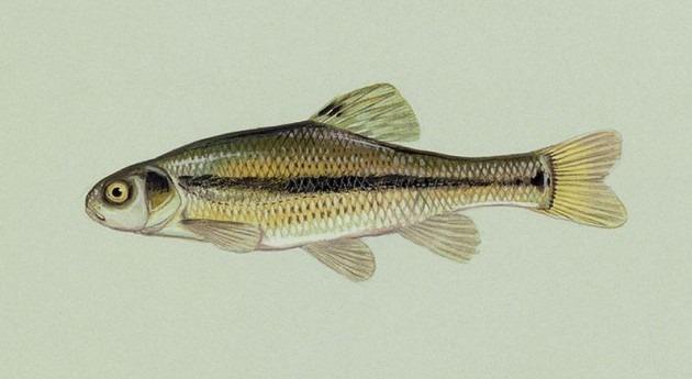 hormonas vertidas cauces naturales alteran reproducción peces generaciones