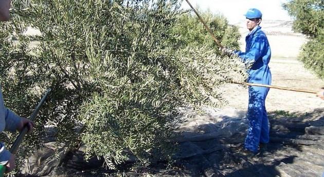 """sequía deja cosecha aceituna Jaén """"muy escasa"""", COAG"""