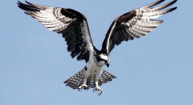 Águila pescadora.