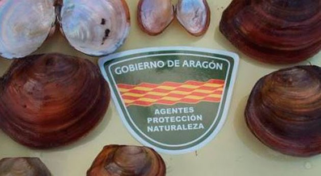 Detectada nueva especie invasora ríos aragoneses, almeja china cieno