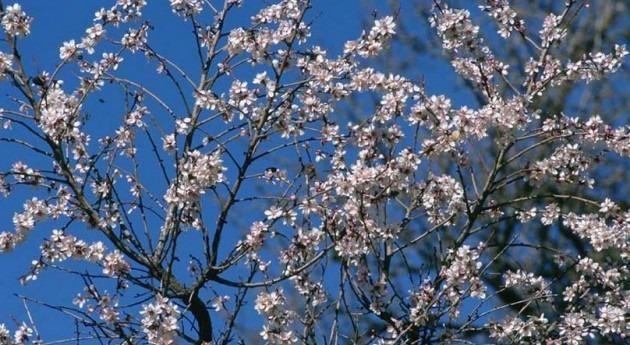 altas temperaturas adelantan casi 20 días floración almendro