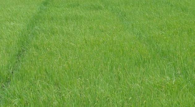 Cultivos de arroz (Wikipedia/CC).