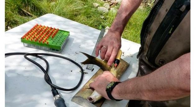 CHD estudia movimiento migratorio más 8.000 peces río Tormes