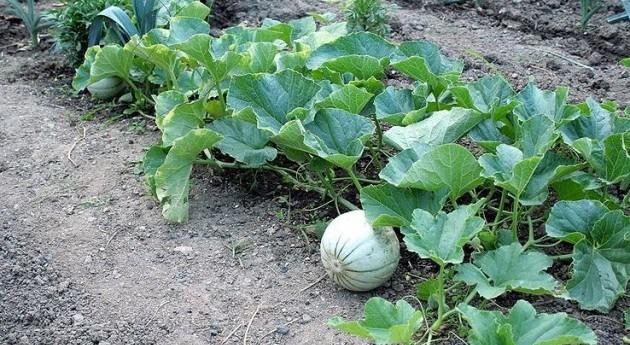 Vega Adra dejará producir 24 millones kilos melón y sandía calidad agua
