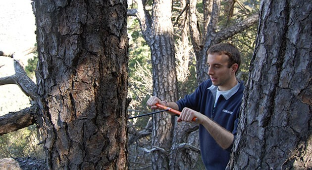 sequía provoca muerte bosques pino albar españoles