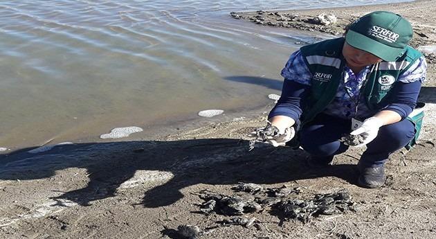Aparecen 10.000 ranas muertas lo largo río Coata, dentro Reserva Nacional Titicaca