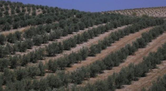 Premiado estudio optimización distribución agua riego olivar