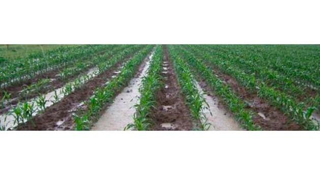 Sensibilidad maíz al exceso agua