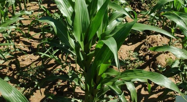 sistemas irrigación son clave diferencia rendimiento cosechas maíz España