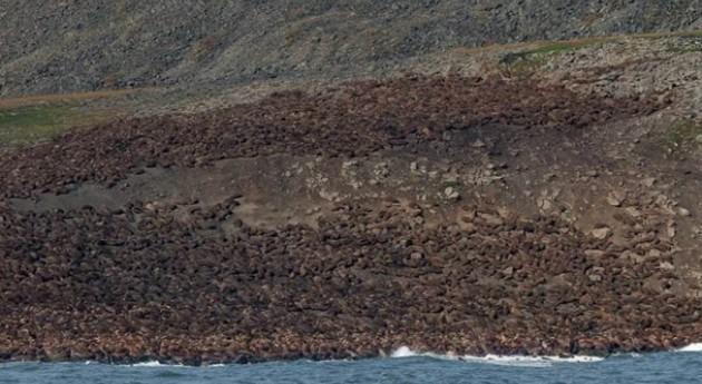 Otro efecto cambio climático Ártico: Miles morsas atrapadas falta hielo