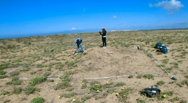 uso eficiente agua permite planta invasora desplazar autóctona dunas