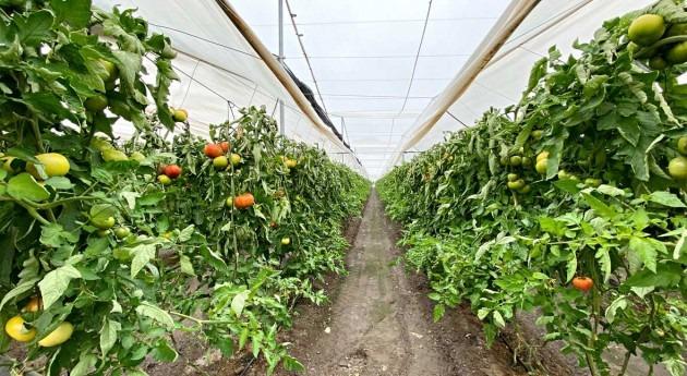 Sistemas Inteligentes mejorar productividad cultivo tomate invernadero