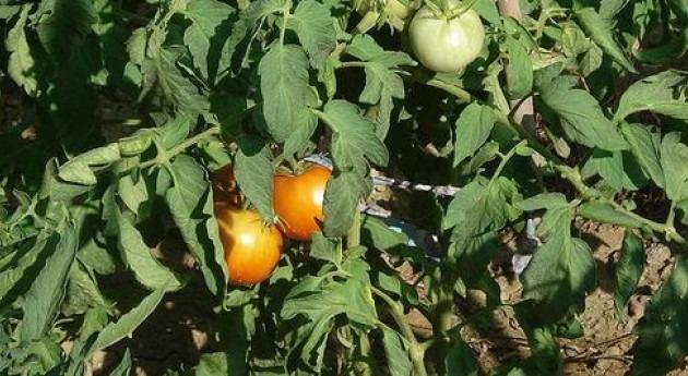 Unilever y Agraz proyecto cultivo sostenible ahorrar 20% agua cultivo tomates