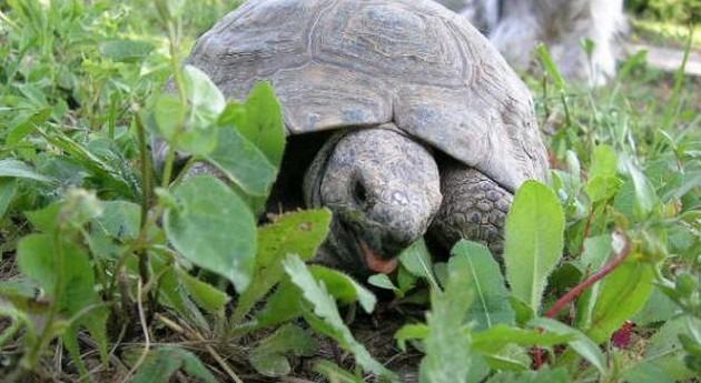 Tortuga mora (Wikipedia/CC).