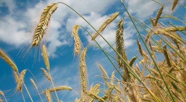 Investigadores CSIC describen genes trigo que se activan como respuesta sequía