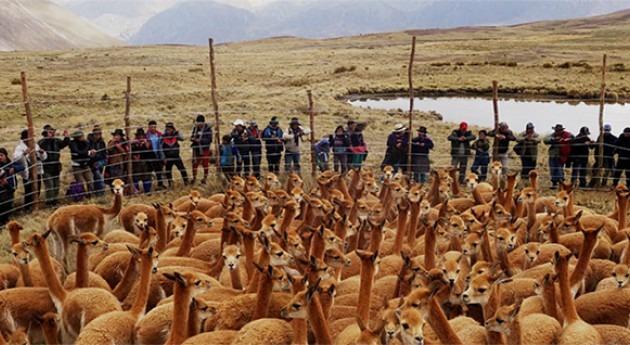 Chaccu: esquilado vicuñas Andes peruanos protege recursos hídricos país