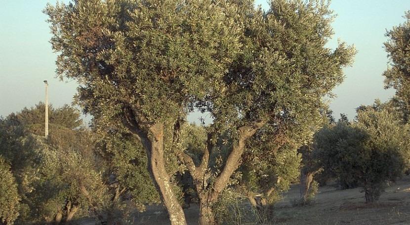 marcha aplicación web que calcula necesidades riego olivar andaluz