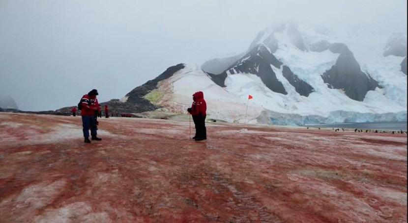 algas rojas y verdes que crecen nieve aumentan deshielo Antártida