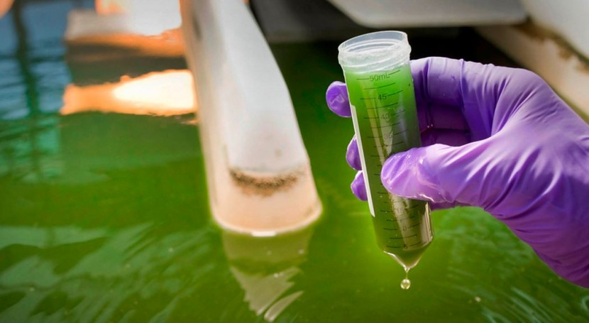 Estudian uso microalgas tratar aguas residuales