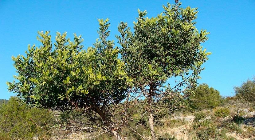 cultivo algarrobo, medida combatir cambio climático Murcia