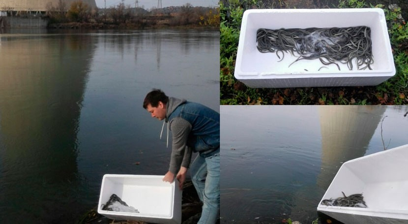 Liberadas 1.200 anguilas río Ebro