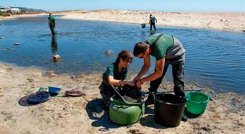 Rescatadas 1.800 anguilas peligro asfixia río Cachón Cádiz