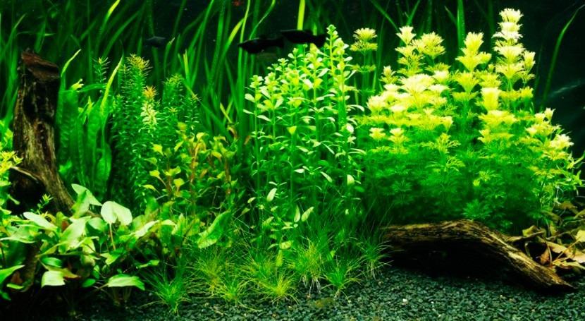 Acuariofilia: hobby ciencia mantener peces agua dulce acuarios